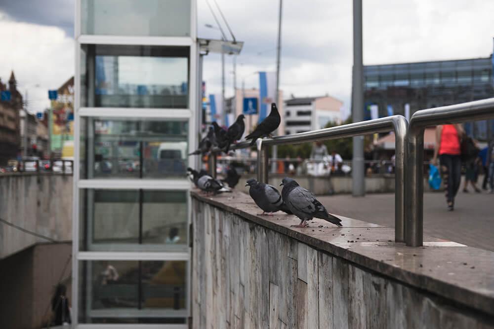 Pigeons of Riga